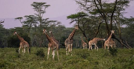giraffen kenia