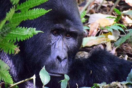 Oeganda gorila, gratis foto van Pixabay van M. Jordahl